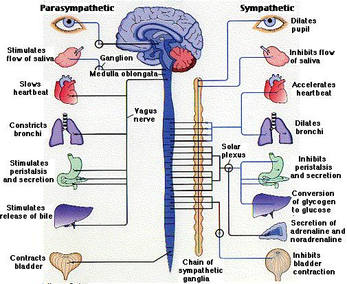 Schema explaining how parasympathetic and sympathetic nervous systems inhibit functioning organs